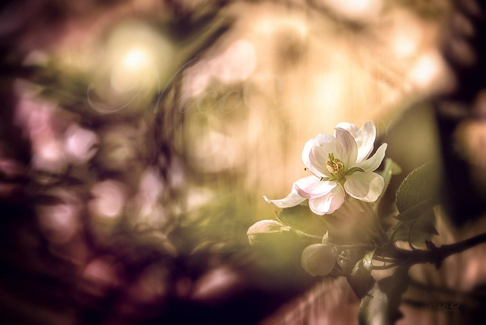 Fn10747804-Apfelblüte - Malus - Apple blossom