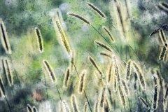 Bn13995308-Gräser im Sonnenschein