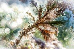 Bn15995312-Wacholder - Juniperus