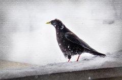 Pn11904302-Bergdohle im Schnee