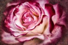 Rn11429306-Rose dunkle Schönheit