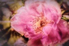 Rn14808309-Rose im Sonnenlicht