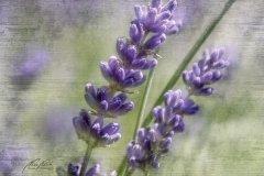 Tn12486307-Lavendel