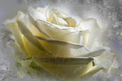 Rn17561403-Dreamy white rose