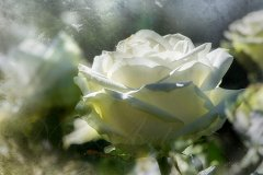 Rn17684403-Bright white rose