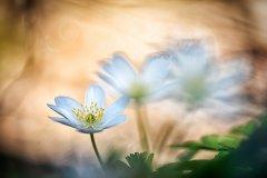 Fn10145804-Buschwindröschen - Wood anemone - Anemone nemorosa