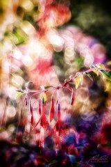 Fn102837809-Gartenfuchsie im Gegenlicht - Fuchsia magellanica