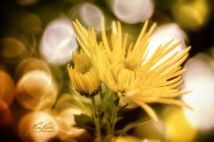 Fn102868809-Aster gelb