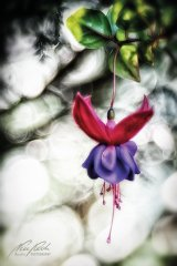 Fn103465810-Fuchsienblüte