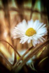 Fn10917804-Bellis perennis - Daisy - Gänseblümchen