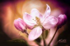 Fn11024804-Apfelblüte - Apple blossom - Malus