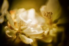 Fn11268804-Apfelblüten - Malus - Apple blossoms