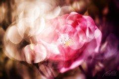 Rn12063805-Rose im Märchenlicht