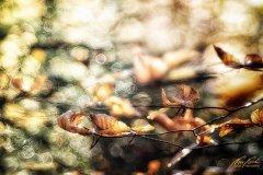 Bn104193911-Buchenblätter im Herbst