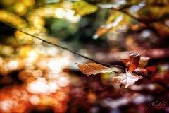 Bn104256911-Herbstliche Buchenblätter mit Bokeh