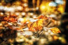 Bn104260911-Buchenblätter in der Herbstsonne