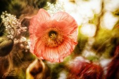 Fn100510904-Tulpenblüte
