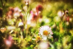 Fn105084903-Gänseblümchen - Daisy - Bellis perennis