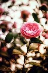 Fn105389903-Pink Camellia - Rosafarbene Kamelienblüte