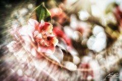 Fn105447903-Kamelie mit Bokeh und Sunflares - Camellia