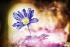 Fn105525903-Blaue Frühlingsanemone - Anemone blanda