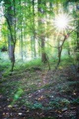 Ln103619910-Sonnenstern im Wald