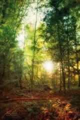 Ln103674910-Sonnenstern am Abend im Wald